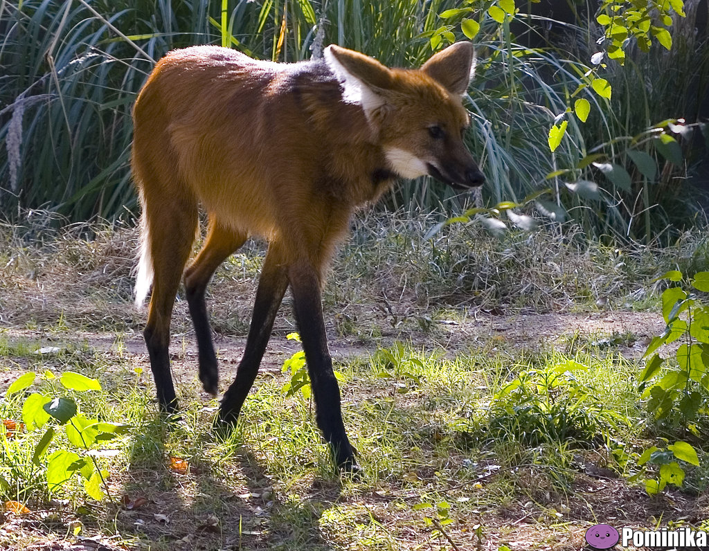 Maned-Wolf
