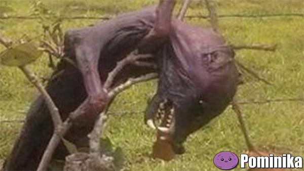 мертвая чупакабра